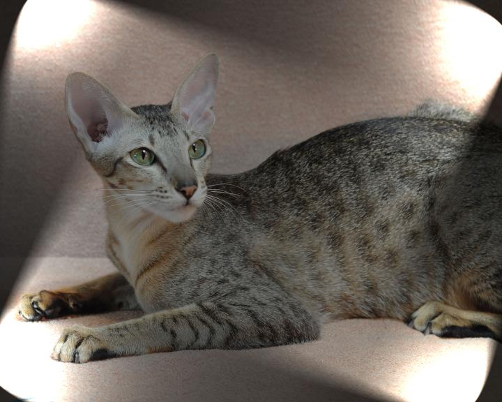 CH Kolb's Kaelyn of Sahja, ebony spotted Oriental