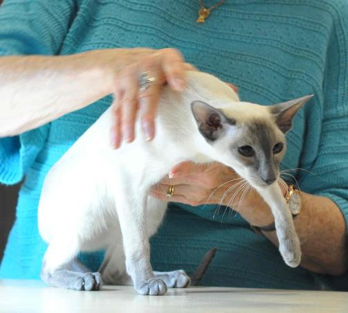 blue point Siamese being judged