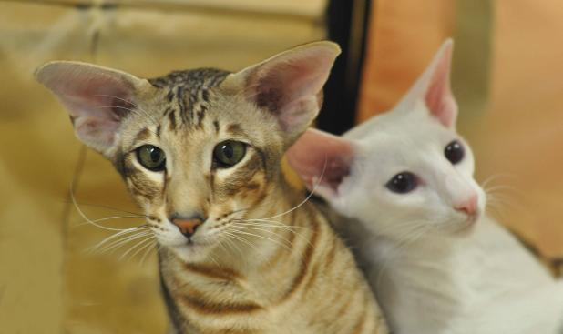 ebony spotted tabby and white Oriental shorthair