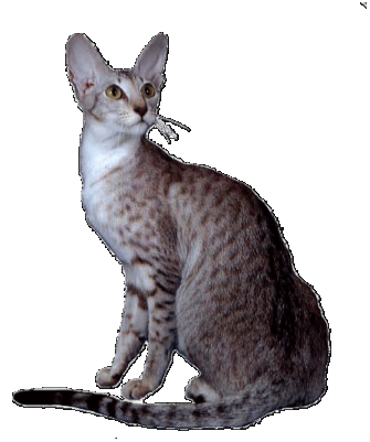 Grand Champion Sahja's Glory MacHanna, chestnut silver spotted oriental cat
