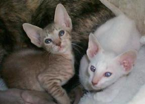 two caramel oriental kittens
