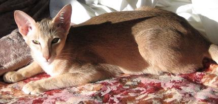 lovely caramel ticked Oriental cat