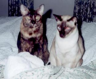 chestnut tortie and chocolate point oriental cats
