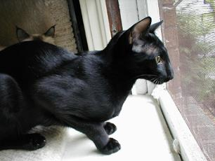 ebony oriental cat