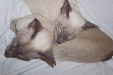 sleeping Siamese