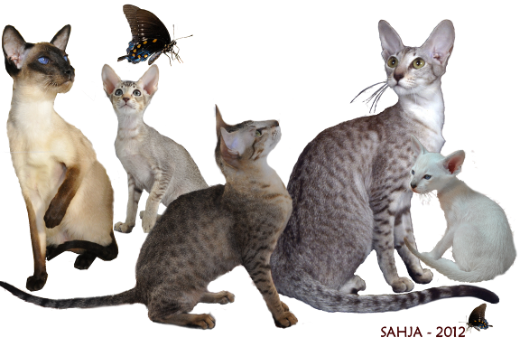 sahja siamese and oriental cats and kittens
