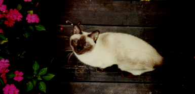Siamese cat from the 1960's