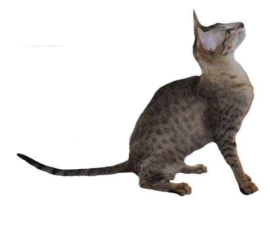 Kolb's Kaelyn of Sahja, ebony spotted tabby Oriental