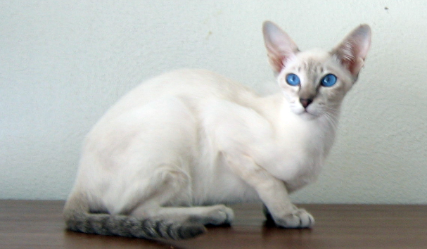 Pictures Of Siamese Mix Cats